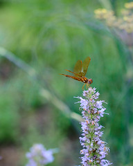 Wondering Glider (wbrianwhitaker) Tags: fuji fujifilm xt3 50mm super takumar insect insects dragonfly nature longwoodgardens bokeh flowers