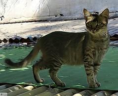Gato lindo. (In Dulce Jubilo) Tags: gato gatito lindo fotografía cat kitten naturaleza nature colors colores animal animals photography wild espagne españa spain spanien