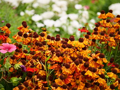 Flowers (Matt C68) Tags: flower oxford oxforduniversity oxfordbotanicgardens