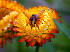 Big hoverfly (Matt C68) Tags: hoverfly fly insect flower oxford oxforduniversity oxfordbotanicgardens