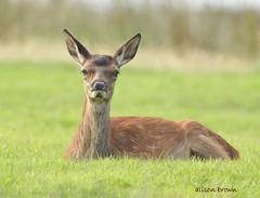 Red Deer Fawn (alison brown 35) Tags: young fawn red deer lochranza isleof arran scotland uk mammal wild wildlife alisonbrown35 2018 ngc