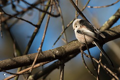 Long-tailed tit in morning light (Picturavis) Tags: vogel bird germany animal tier schwanzmeise deutschland hallesaale longtailedtit aegithaloscaudatus