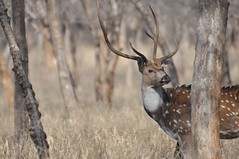 Leaving the Forest (The Spirit of the World ( On and Off)) Tags: trees forest deer antlers male nature bokeh wildlife dry safari camouflage grasses rajasthan gamedrive gamereserve axisdeer chital wildlifereserve spotteddeer ranthamborepark