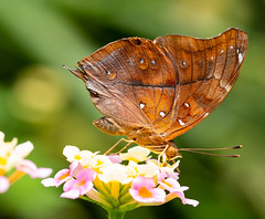 Butterfly (LuckyMeyer) Tags: schmetterling butterfly insect brown makro green