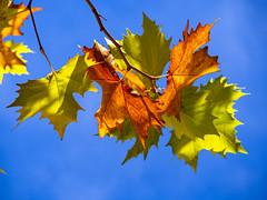 Sycamore leaves in autumn (Raoul Pop) Tags: autumn fallfoliage home medias outdoors time transilvania