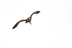 battuta di caccia (anarcnide) Tags: falco hawk animal wild sigma 105 nikon d3300