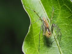2019-08-10_03-04-34 (月犬火) Tags: 細紋貓蛛 蜘蛛 貓蛛 spider macrophotography 微距