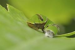 Checkered Swallowtail Butterfly Catterpillar (Phasmomantis) Tags: checkered swallowtail butterfly catterpillar insect nature wildlife macro pentax tamron sensational butterflies lepidoptera london natural histiry meseum pentaxflickraward