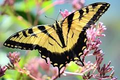 Garden Guest (helensaarinen) Tags: summer butterfly garden swallowtail macro