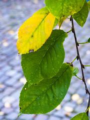 Sour cherry leaves (Raoul Pop) Tags: autumn fallfoliage home medias outdoors time transilvania