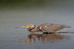 Tricolored Heron (Greg Lavaty Photography) Tags: tricoloredheron egrettatricolor texas august brazoria nationalwildliferefuge brazoriacounty birdphotography outdoors bird nature wildlife