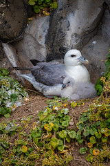 Northern Fulmar with chick (Osprey-Ian) Tags: grimseyisland iceland northernfulmar northernfulmarchick