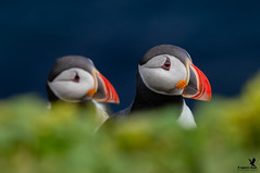 Colours of Grimsey - Atlantic Puffins (Osprey-Ian) Tags: atlanticpuffin iceland grimseyisland