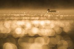 Bubble impression (mirosławkról) Tags: wildlife animal bird nature nikonnaturephotography 150600 water pond poland wild silesia orange duck bokeh bubbles sunrise