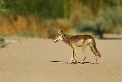 Wild Coyote: Wandering Around! (rambokemp) Tags: wildlife wilderness wetlands wetland canoneos1dxmarkii canonef600mmf4liiisusm phoenixarizona coyote
