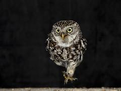 Little owl running in the barn. (roy rimmer) Tags: blackbg littleowl