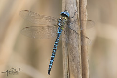 Southern Migrant Hawker (AndyNeal) Tags: animal wildlife nature insect dragonfly southernmigranthawkerdragonfly essex ewt fingringhoewick