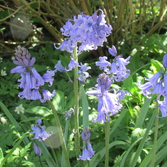 (sftrajan) Tags: lyonbotanicgarden unidentified flower botany purple spring looselabels francia jardinbotanico botanischergarten jardinbotaniquedelyon
