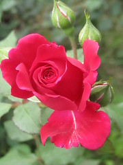 different petals of the rose (VERUSHKA4) Tags: canon china asia xian ville city garden travel rose flora may spring fleur flower red petal bud plant green blossom nature season rouge capture jardin beautiful astoundingimage