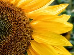 Sun-Flower (Ronnie Da) Tags: olympus penf wales gower rhossili wormshead