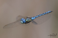 Southern Migrant Hawker in flight (AndyNeal) Tags: animal wildlife nature insect dragonfly southernmigranthawkerdragonfly essex ewt fingringhoewick
