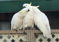 Cocky Love (PhotosbyDi) Tags: cockatoo sulphurcrestedcockatoo bird australia backyardbirds panasoniclumix panasonicfz300 lumixfz300