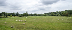 Sheep in the Meadows (stevedewey2000) Tags: wiltshire wylyevalley landscape 2351 widescreen sheep meadows bucolic countryside westcountry greatwishford farming agriculture sonya99 sony2470