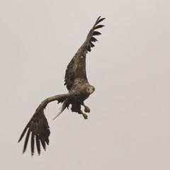 White tailed eagle - Haliaeetus albicilla (Svein K. Bertheussen) Tags: whitetailedeagle havørn eagle ørn fugl bird raftsundet nordland norway norge wildlife dyreliv fugleliv nature natur