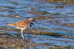 Killdeer (gh_trker) Tags: nikon nikond500 birds killdeer burlingtonbay nikon200500mm shorebirds