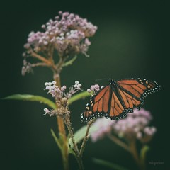 Prairie Beauty (Melinda G Pix) Tags: prairie bug summer outdoor nature butterfly monarch