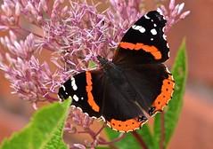 Red Admiral (deanrr) Tags: babyjoepyeweed butterfly butterflyonflower nature outdoor redadmiral alabama morgancountyalabama alabamanature backyardbutterfly