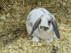 20190809 Holland Lop Rabbit (Dolores.G) Tags: 365the2019edition 3652019 day221365 09aug19