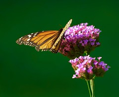 Today's Monarch (justPhotons) Tags: butterfly monarch