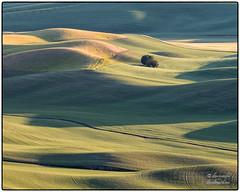 A Lone Tree on the Palouse (zen3d ☯) Tags: palouse tree landscape grain wheat washington