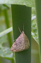 Evergestis pallidata; Purple-backed Cabbageworm Moth (urmas ojango) Tags: glaphyriinae evergestis lepidoptera liblikalised insecta insects putukad moth rohuleediklased crambidae nationalmothweek evergestispallidata purplebackedcabbagewormmoth