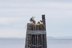 Lunch Time (NikonDigifan) Tags: greatblueheron heron birdwatching bird naturephotography nature naturesfinest wildlife wildlifephotography washington pacificnorthwest whidbeyisland nikond750 nikon20050056 nikon mikegassphotography