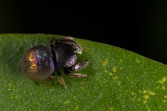 "Simaethula ""golden bum"" (zosterops) Tags: arachnida salticidae simaethula goldenbum australia queensland cairns macro canoneos6d"