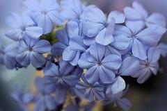Smile of August : Plumbago auriculata / Augusztus mosolya : Ólomvirág (Ibolya Mester) Tags: plumbagoauriculata ólomvirág flower garden