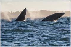 Breaching Humpbacks 1053 (maguire33@verizon.net) Tags: humpbackwhale monterey montereybay breach whale wildlife montereycounty california unitedstates