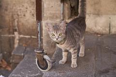 Kitten in Paris