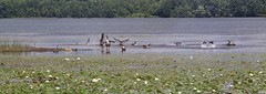 Geese Splashing Around. (Steve InMichigan) Tags: canadiangeese lake lakescape waterfowl canoneosm50 soligor135mmf35tokinalens fotasyt2eosmlensadapter
