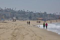Playa del Rey, Beach, CA CQ4A9269 (Hart Walter) Tags: ballonajetty willet surfbird redneckedphalarope terns eleganttern royaltern caspiantern sanderling blackturnstone playadelrey beach heermannsgull marbledgodwit