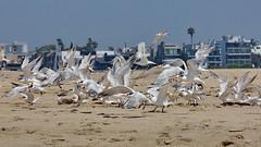 Elegant and Royal Terns, flying, Playa del Rey, CA CQ4A9230 (Hart Walter) Tags: ballonajetty willet surfbird redneckedphalarope terns eleganttern royaltern caspiantern sanderling blackturnstone playadelrey beach heermannsgull marbledgodwit