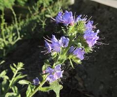 Viper's Bugloss (Anita363) Tags: vipersbugloss bugloss echiumvulgare echium boraginaceae wildflower flower flora vilnius lithuania june unescoworldheritagesite