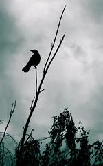 Black Sunshine (Thunderwall) Tags: crow bird beak branch leaves tree raven black cloud clouds sky storm monochrome pearched wildlife animal photography silhouette profile nikon d5300