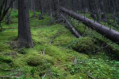 Grassy Knob Forest (beckybarnett303) Tags: canada alberta visitcanada banff forest green greenery trees tree moss mosses nature quiet trail hike hiking banffnationalpark