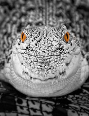 Crocodile Stare (FotoGrazio) Tags: weird portrait wow phototoart face selectivecolor nature dangerous fotograzio odd lizard reptile scary blackadnwhite texture wildlife waynesgrazio photoeffect mothernature closeup waynestevengrazio waynegrazio lovely eyes scales animal crocodile animals orangeeyes photomanipulation strange