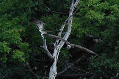 Incoming!! (John Neziol) Tags: jrneziolphotography portrait animal animalphotography wildlife wildbirdphotography wildlifephotographer closeup naturephotographer outdoor naturephotography ontario ontarionature ornithology photography naturallight nikon nature naturecanada bird birdphotography feathers osprey raptor birdofprey birds