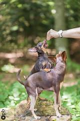 T'est mon copain Nestor (Philippe Bélaz) Tags: nestor ooligan pragois ratierdeprague animauxdecompagnie bois brun chiens chocolat copains debout forêts gâteries vert été