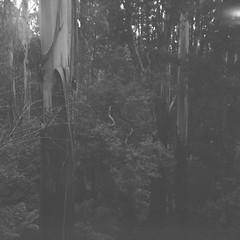 Trees in black-and-white (Matthew Paul Argall) Tags: 120film 120 mediumformat blackandwhite blackandwhitefilm 6x6 squareformat squarephoto ilforddelta100 100isofilm